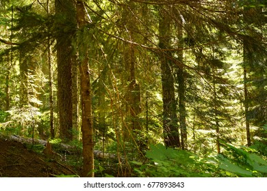 Conifer forest  along the Denny Creek trail in the Snoqualmie National Forest, Washington