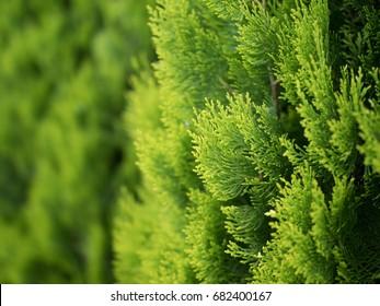 Conifer of fresh green