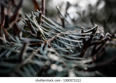 conifer with frozen dew, macro shots of a Christmas tree