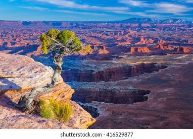 Conifer tree growing on the outcrop in Canyonlands National Park in Utah