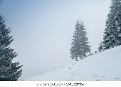 Conifer tree in misty white winter landscape, Background photo in Christmas time