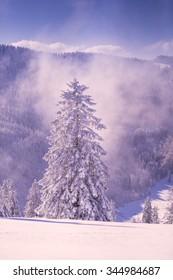 conifer tree in winter in Black Forest, Germany