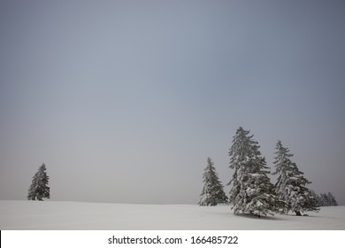 conifer trees in winter in black forest