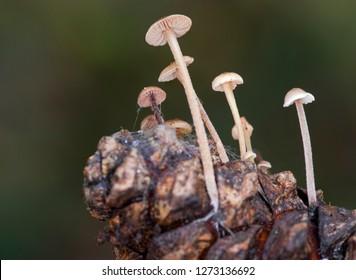 Conifercone Cap - (Baeospora myosura)