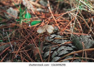 Conifercone cap in ground forest