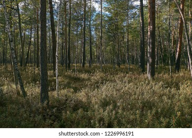Coniferous bog forest in autumn is sun, Belarus, Europe