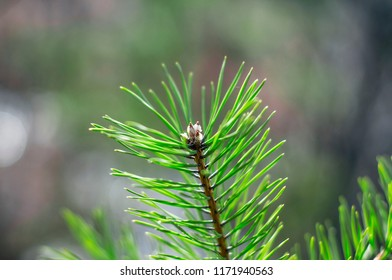 Coniferous branch with long needles. Fir tree closeup. Super macro nature footage. Blossoming spruce scene, spring pattern. The beginning of spring, flowering. Fir-tree in the park. Fresh plants.