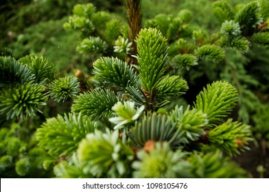 Coniferous branches and young cones close up om a sunny day