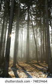 Coniferous forest backlit by the morning sun on a foggy early spring day.