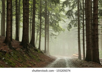 Coniferous forest in fog.