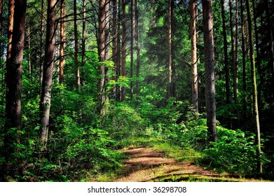 Coniferous forest illuminated  by the sun at noon