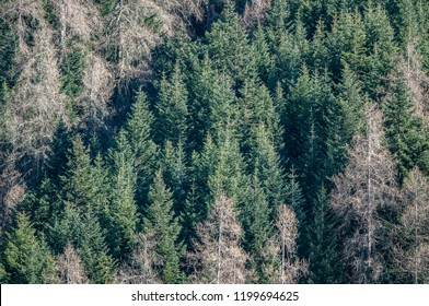 Coniferous forest in Italy