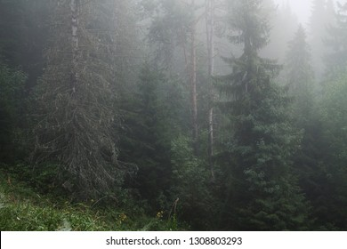 coniferous forest in a morning fog