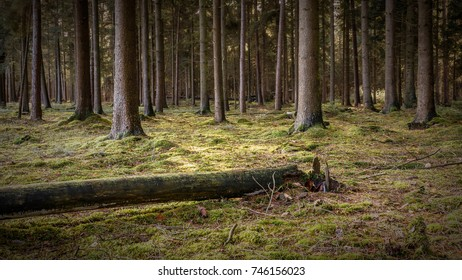 Coniferous forest with moss in autumn
