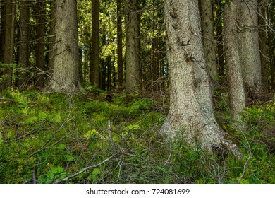 in the coniferous forest in the mountains