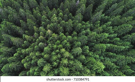 Coniferous forest on mountain slopes. top view