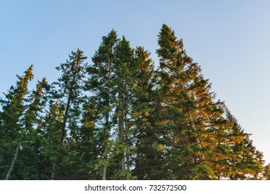 Coniferous forest in the rays of the setting sun in autumn