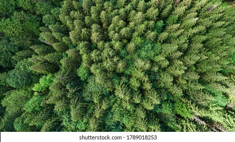 Coniferous forest. Spruce mountain forest from a bird's eye view. Photo from the drone.
