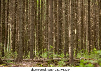 Coniferous forest at summer day background