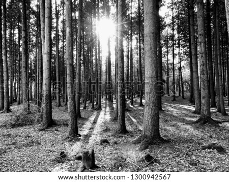coniferous-forest-sunlight-passing-betwe