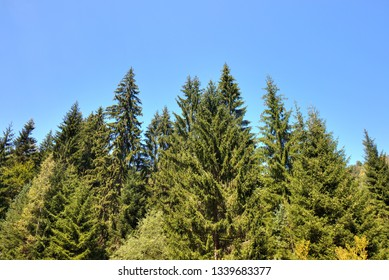 Coniferous forest, Tara mountain in Serbia