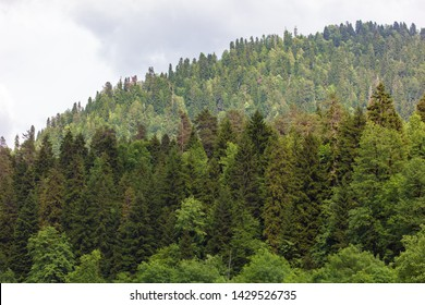 Coniferous forests on the slopes of the Caucasus Mountains .