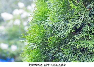 Coniferous green tree for background, thuja