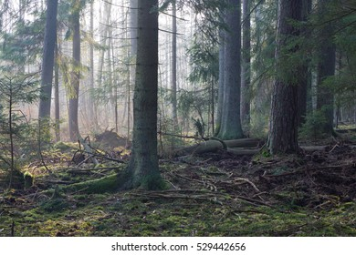 Coniferous stand in morning with pine and spruce. some lying broken,Bialowieza Forest,Poland,Europe