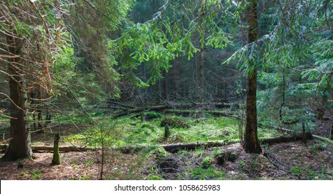 Coniferous stand, spruce mainly in springtime morning, Bialowieza Forest, Poland, Europe