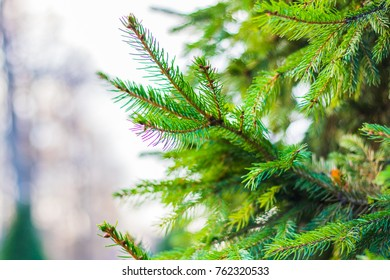Ð¡loseup of a coniferous tree