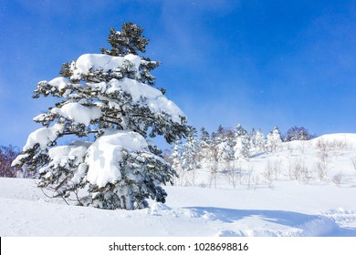 The coniferous tree by which a heavy snow fell