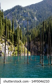 Coniferous tree trunks rise from the depths of a mountain lake with blue water. Shooting with the drone. At the edges of the lake green forest and coniferous trees. Kazakhstan, Almaty, Kaindy lake