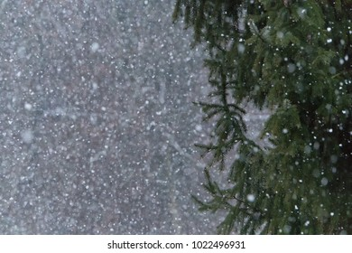 Coniferous tree in winter time being snowed in