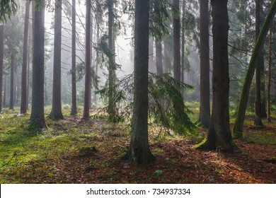 Coniferous trees against light of misty sunrise morning, Bialowieza Forest, Poland, Europe