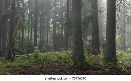 Coniferous trees against light of misty sunrise morning