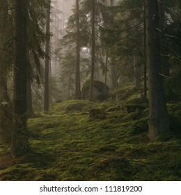 Coniferous trees in forest