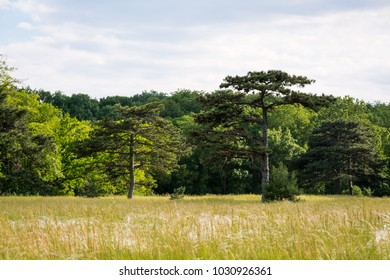 coniferous trees in the forest-steppe zone