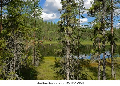 Coniferous trees with mosses and lichens on background of northern forest lake in Finnish Lapland