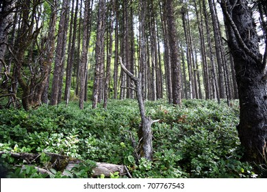 Coniferous trees stand amidst dense underbrush in forested greenery along the Oregon Coastal region