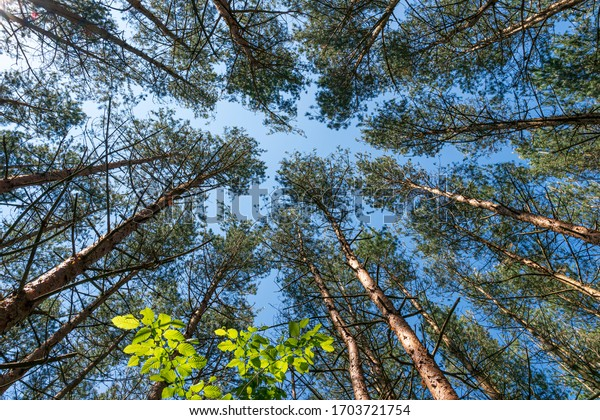 Coniferous trees - a view from below of the sky in the tree crowns