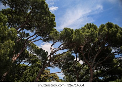 Coniferous trees in the Vorontsov Palace Park at Alupka, South Shore of Crimea