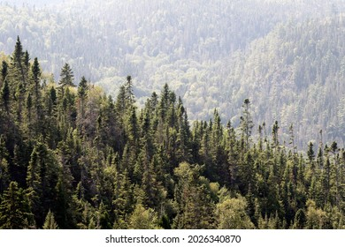 conifers on the mountain in the boreal forest