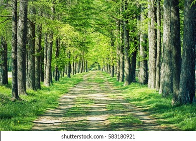 Conifers tree-lined avenue