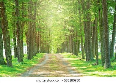Conifers tree-lined avenue