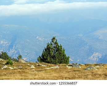 Conigou massif: Pine tree and mountain landscape in the French Pyrenees near the Pic du Canigou, Regional Park of the Catalan Pyrenees in southern France