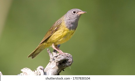 The Connecticut warbler is a small songbird of the New World warbler family. These medium-sized warblers measure 13–15 cm in length, with a 22–23 cm wingspan. Connecticut warblers weigh 10 g when they