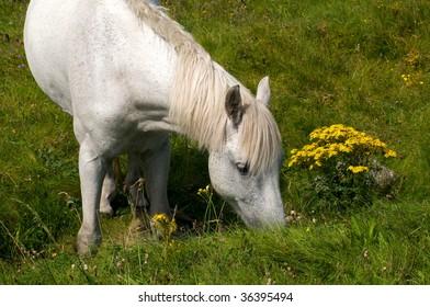 Connemara pony in Ireland