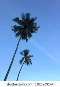Cononut tree on blue sky as background