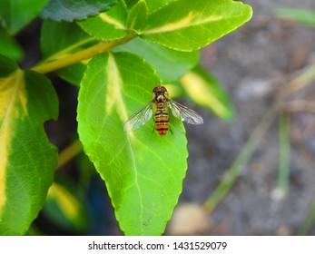 Conops quadrifasciatus, wasp fly is sitting on green leaf.