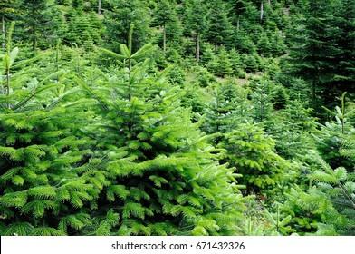 Conservation Nordmann fir trees